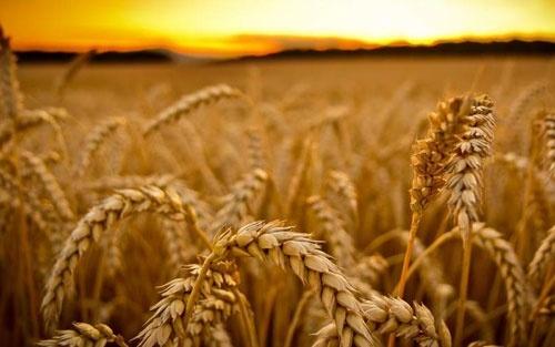 Саудовская Аравия смягчила требования к качеству причерноморской пшеницы фото, иллюстрация