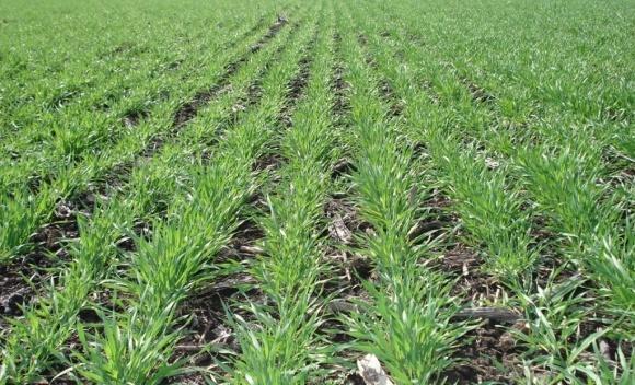 Озимые зерновые в Украине взошли на 99% площадей фото, иллюстрация
