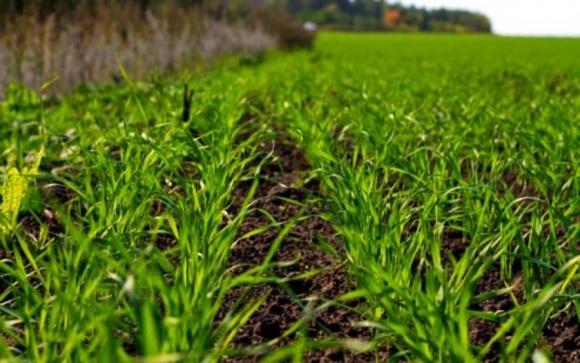 Держспоживслужба повідомила про фітосанітарний стан посівів зернових фото, ілюстрація