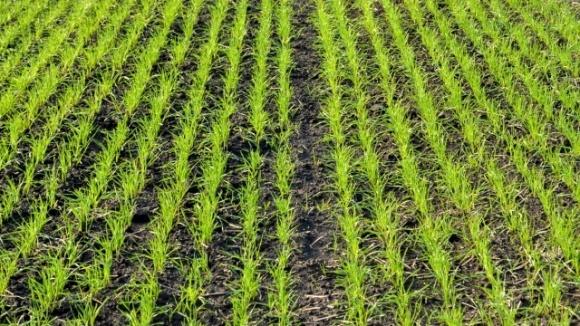 Озимые зерновые против сорняков: чем лучше защитить посевы? фото, иллюстрация