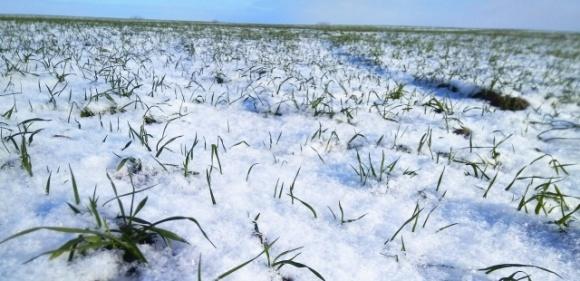 Експерти розповіли про перезимівлю озимих зернових фото, ілюстрація