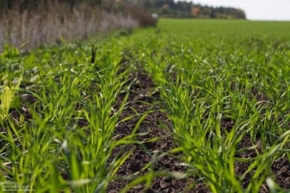 Хмельницкая область: засуха отступила, озимые обильно зеленеют фото, иллюстрация