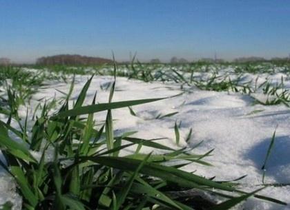 На Вінничині вчені стурбовані станом озимих через морози фото, ілюстрація