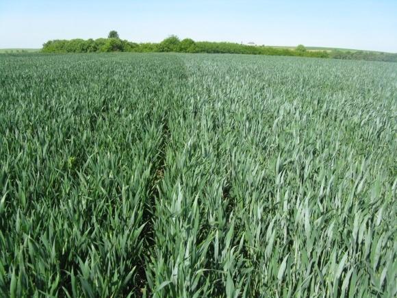 Рентабельність озимої пшениці зростатиме фото, ілюстрація