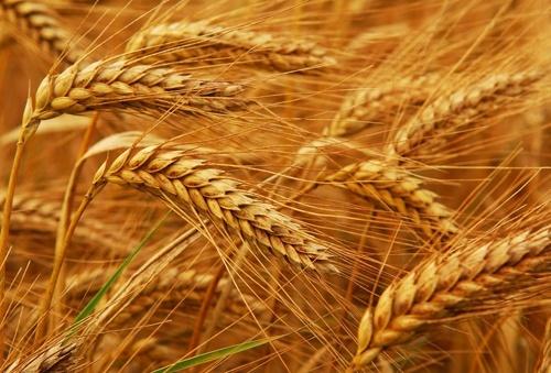 Споживання пшениці в світі в 2019-20 МГ складе 752 млн. тон, - IGC фото, ілюстрація