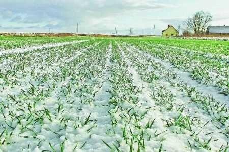 В Украине всходы озимых зерновых культур получены на 98% засеянных площадей фото, иллюстрация