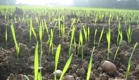 В Украине почти 50% всходов озимых на зерно находятся в хорошем состоянии фото, иллюстрация