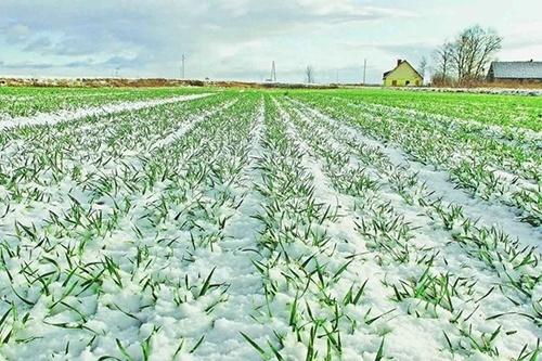 Україна. Погодні умови залишаються сприятливими для озимих культур фото, ілюстрація