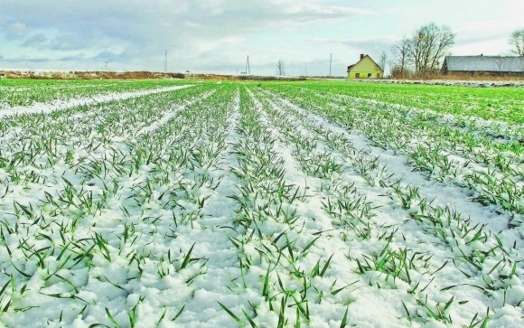 Снежный покров защитит озимые культуры от новой волны заморозков фото, иллюстрация
