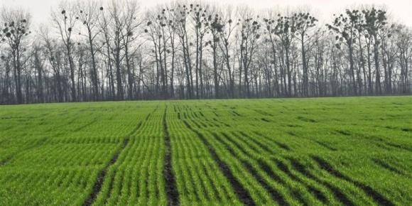 Слабкі та зріджені посіви озимих зернових культур скоротилися до 14% фото, ілюстрація
