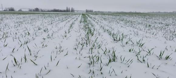 Потепление последних дней создает риски истощения озимых в Украине, — ученые фото, иллюстрация