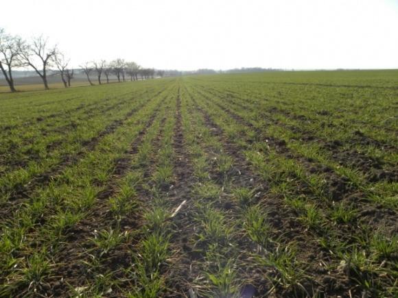 Науковець розповів, як на врожай озимих вплине аномально тепла зима фото, ілюстрація