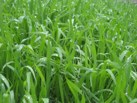 Как поддержать озимые этой весной? Советы экспертов ALFA Smart Agro фото, иллюстрация