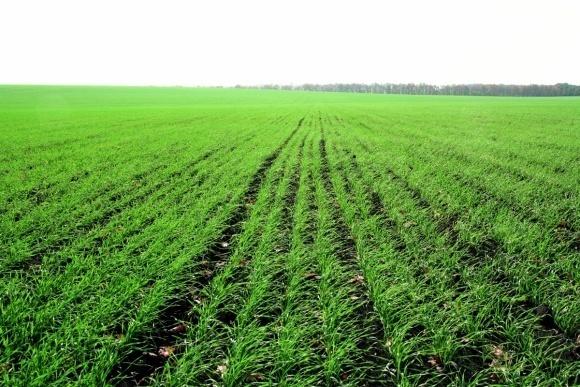 В Украине в хорошем состоянии находится около 87% посевов озимых зерновых фото, иллюстрация