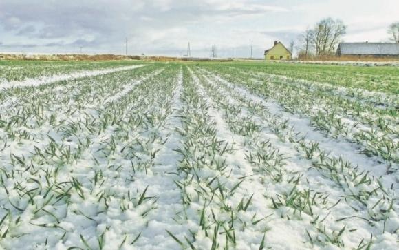 Контроль хвороб озимих зернових в умовах потепління фото, ілюстрація