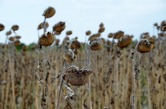 Посевы подсолнечника в центральных и южных регионах страдают от засухи фото, иллюстрация