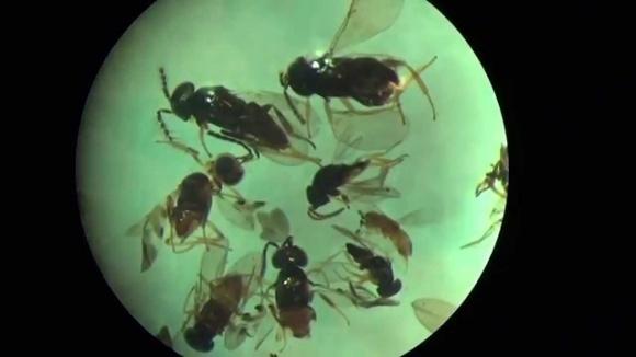 Защищая полезных насекомых-паразитоидов, можно сберечь урожай фото, иллюстрация