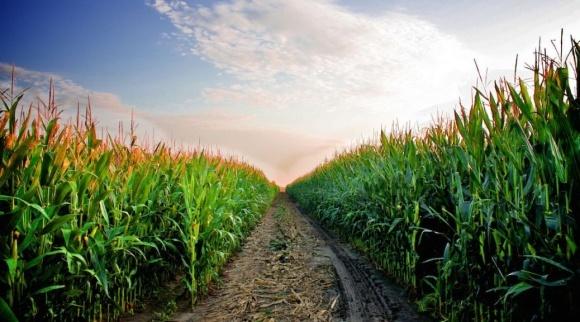 Агролайфак: принципи розробки системи азотного живлення кукурудзи фото, ілюстрація