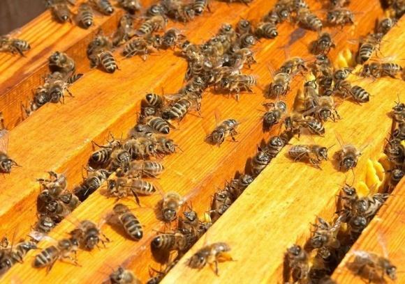 Из-за прикормок сахарным сиропом гибнут пчелы? фото, иллюстрация