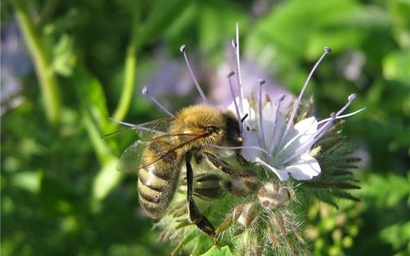 В США замедлились темпы гибели пчел фото, иллюстрация
