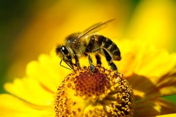 Ученые разработали противоядие для защиты пчел от химикатов фото, иллюстрация