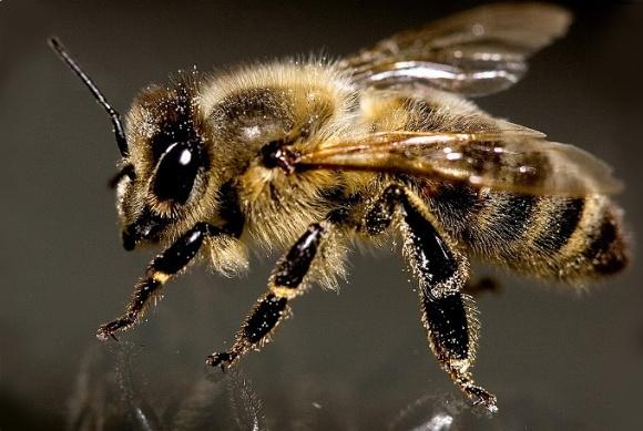 Гарвардские пчелы-роботы будут опылять растения фото, иллюстрация