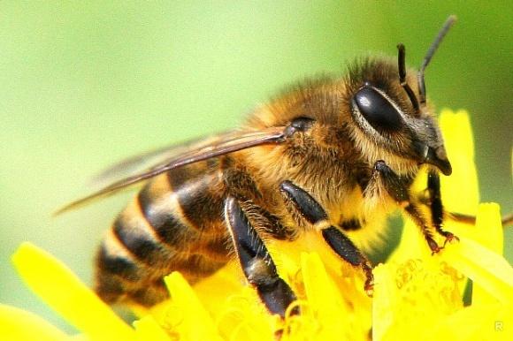 Інсектициди, застосовані за інструкцією, безпечні для бджіл, - Bayer фото, ілюстрація