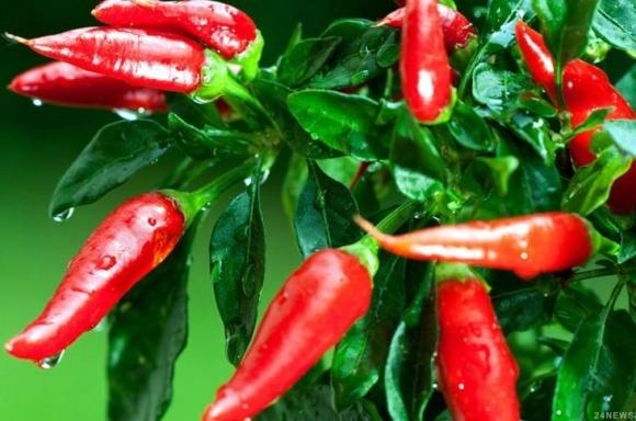 Мексиканський стартап пропонує натуральний пестицид з перцю чилі фото, ілюстрація