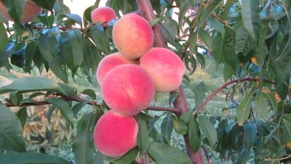 В Украине начался сезон уборки ранних сортов персика фото, иллюстрация