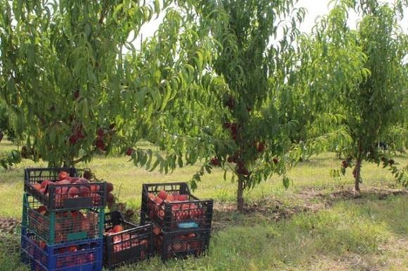 Кооператив «Удобное» в Одесской области вступает в новый сезон с автоматизированной линией для сортировки персиков и нектаринов  фото, иллюстрация