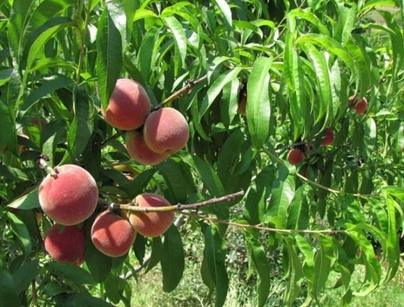 Искусственный нос смог определить спелость персиков фото, иллюстрация