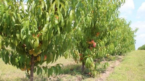За 5 лет площадь персиковых садов в Украине сократилась на 21% фото, иллюстрация