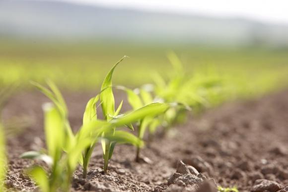 У агрономів дискусія: чи є взаємозв'язок між заморозками і хворобами рослин? фото, ілюстрація