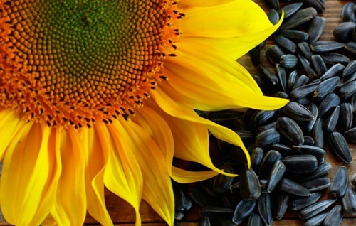 У «Астарті» врожайність сої та соняшнику перевищила середню по Україні фото, ілюстрація
