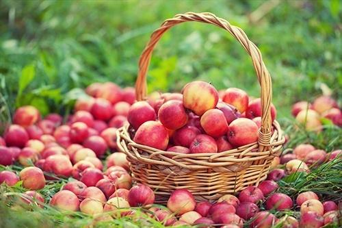 Польща втратила більше половини врожаю яблук фото, ілюстрація