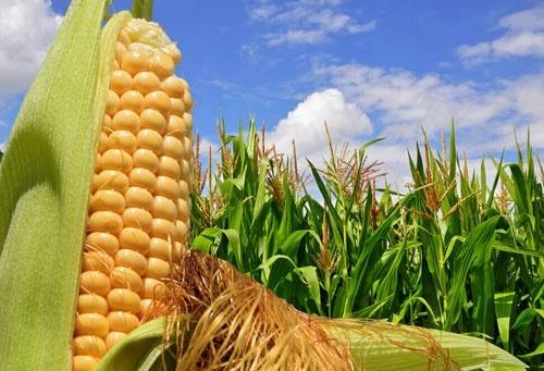 Україна витісняє США з китайського ринку кукурудзи фото, ілюстрація