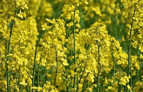 В Украине прогнозируют рекордный урожай рапса и подсолнечника фото, иллюстрация