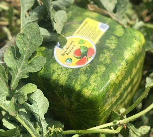 В Україні почали вирощувати органічні кавуни у формі куба фото, ілюстрація