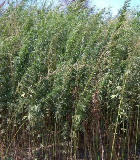 Крупная плантация конопли, обнаруженная на Одесщине, оказалась депутатской   фото, иллюстрация