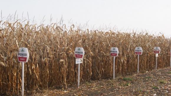 Кукуруза Pioneer® снова в лидерах по урожайности фото, иллюстрация