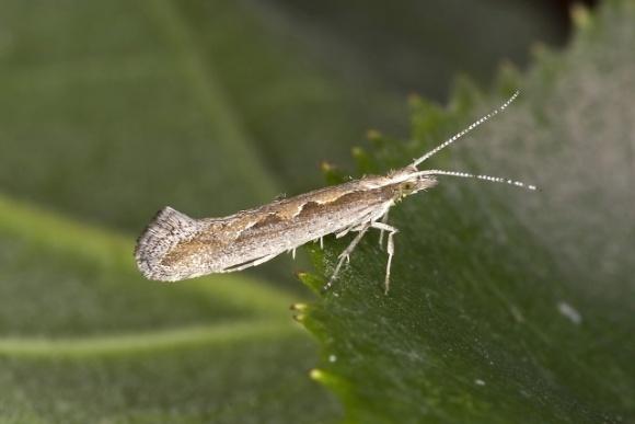 Создана ГМ-капустная моль, которая способна самоуничтожать популяцию вредителя фото, иллюстрация
