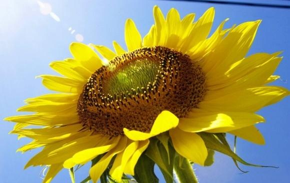 Ціни на високоолеїновий соняшник приємно вразять аграріїв фото, ілюстрація