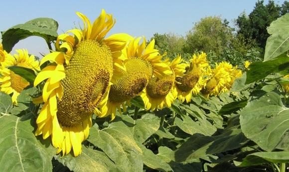 Syngenta виводить на ринок перший гібрид соняшнику 100% української селекції фото, ілюстрація