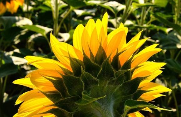 Урожайність соняшнику в Україні продовжує погіршуватися фото, ілюстрація