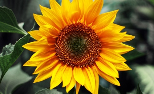 2018 року обсяги імпорту соняшника на насіння збільшилися на 12% – Інститут аграрної економіки фото, ілюстрація
