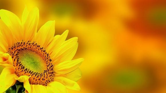 Соняшник. Важливі елементи живлення фото, ілюстрація