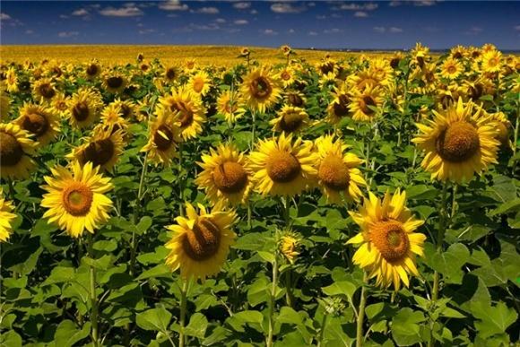 Харківщина вийшла в лідери по соняшнику фото, ілюстрація