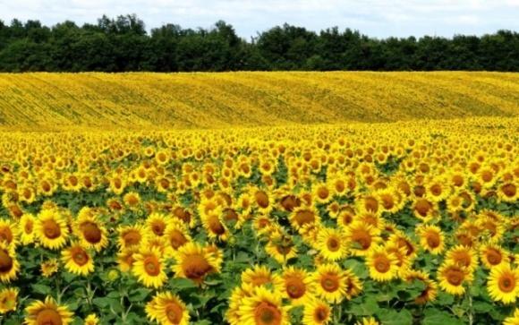 Стійкий до гербіцидів соняшник набирає популярності в Україні і у світі фото, ілюстрація