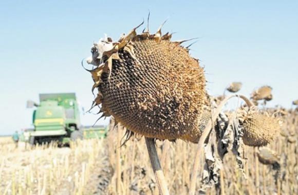 На Кировоградщине виды на урожай кукурузы и подсолнечника неутешительные ... фото, иллюстрация