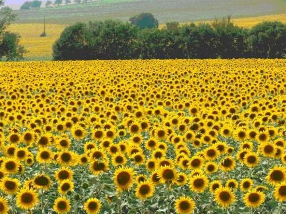 Введение экспортной пошлины привело к расширению посевов подсолнечника, - эксперт фото, иллюстрация